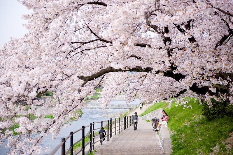 Sakura hanami kyoto japon