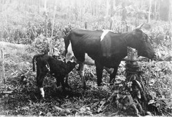 The first high-quality cow, _Diana,_ which gave rise to a modest prosperity.jpg