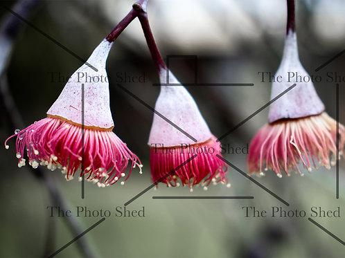 Pink Eucalyptus