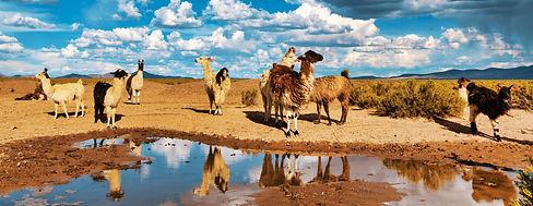 Llamas%20(Lama%20glama)%20Drinking%20Wat