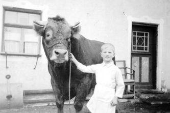 Bild von früher, junger Metzger hält eine Kuh an der Leine