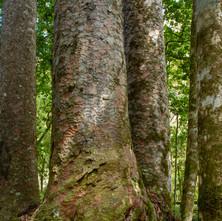 Mighty Kauri Trees