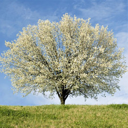 New Bradford Pear Tree