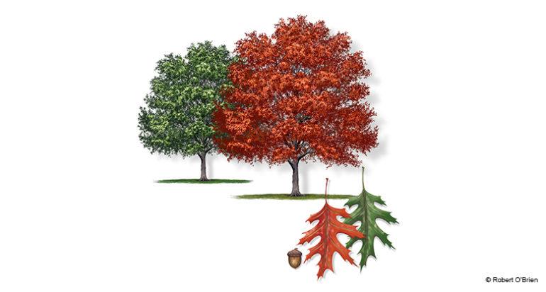 Shumard Oak Tree