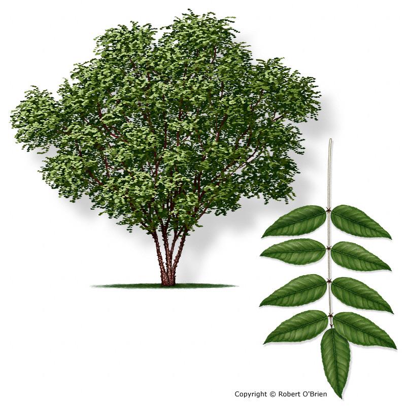 Green Ash Tree