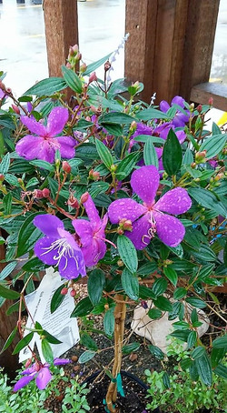 Princess Flower Tibouchina