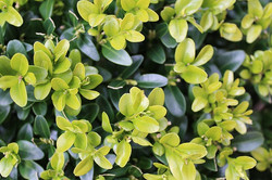 Japanese & Wintergreen Boxwood
