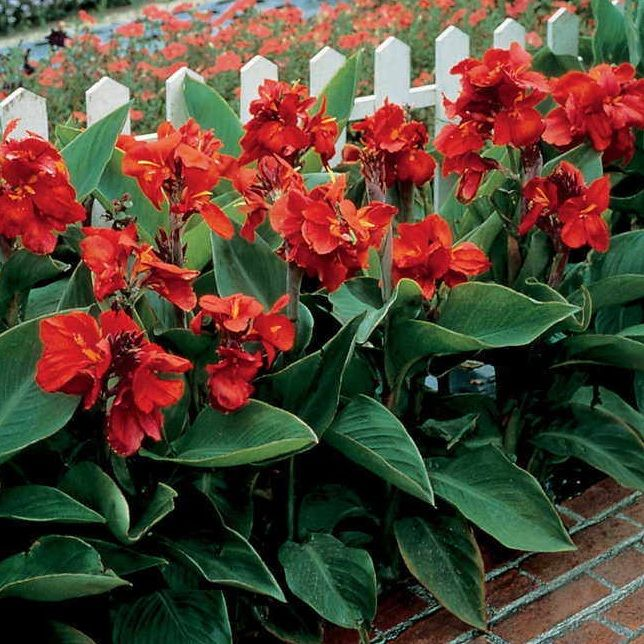 Canna Red