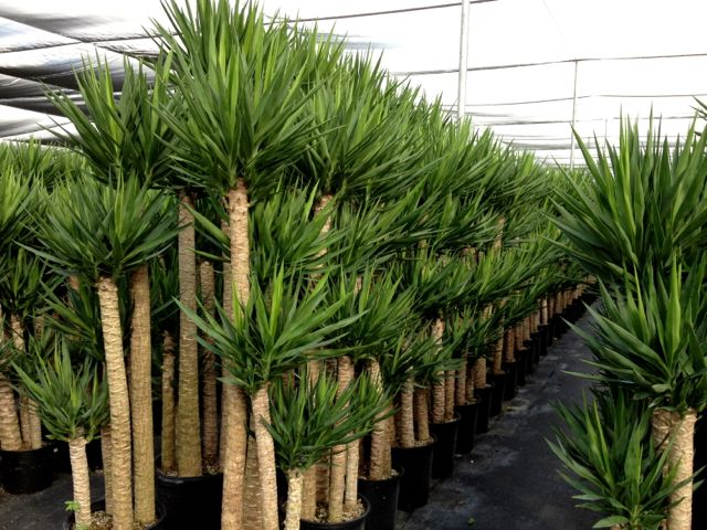 Yucca-Cane