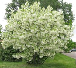 Greybeard Tree