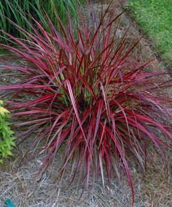 Firework Grass