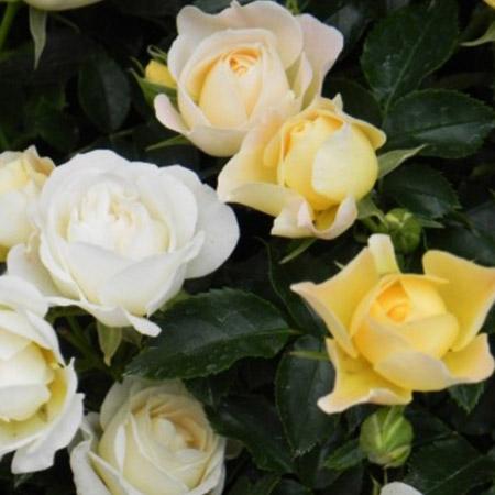Popcorn Drift Rose