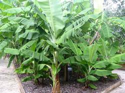 Best Banana Tree