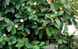 Banana-Shrub