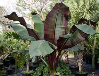 Banana Leaf Tree