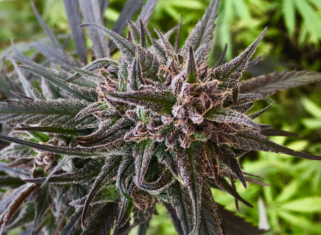 Phytocannabinoids: Building Blocks of Cannabis