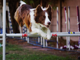 VHOC Wing Ding Agility Trials