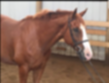 Warmblood Gelding For Sal