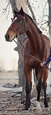 OTTB Jumper Horse