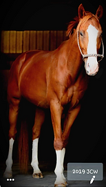 Hunter Jumper Horse For Sale