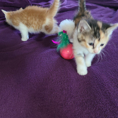 Kittens: Preorder for next available