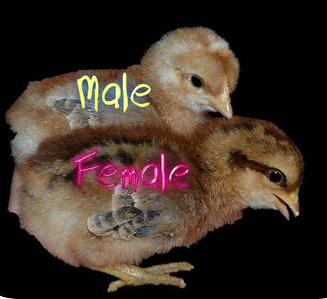 Bielefelder chicks.jpg