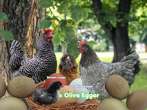 Olive Egger