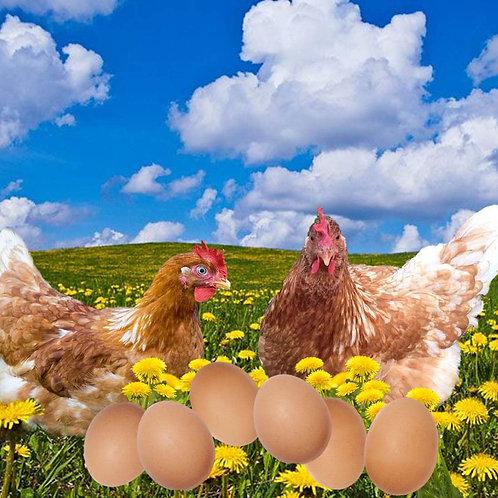 Pre-Order Companion Hen