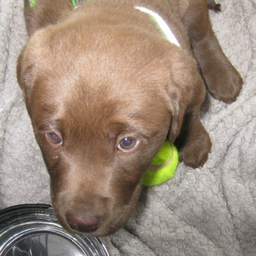 Deposit for next available Chocolate Labrador Puppy