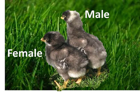sexing barred chick 1.jpg