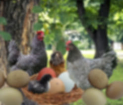 Olive egger.jpg