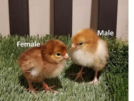 Rhode Island Chick sexing.jpg