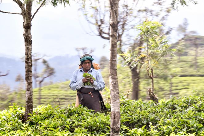 Sri Lanka's Tea Picker