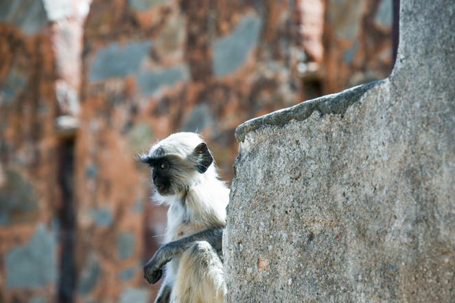 Gray langur, India