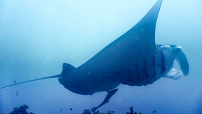 Diving with the Gentle Giant of Japan