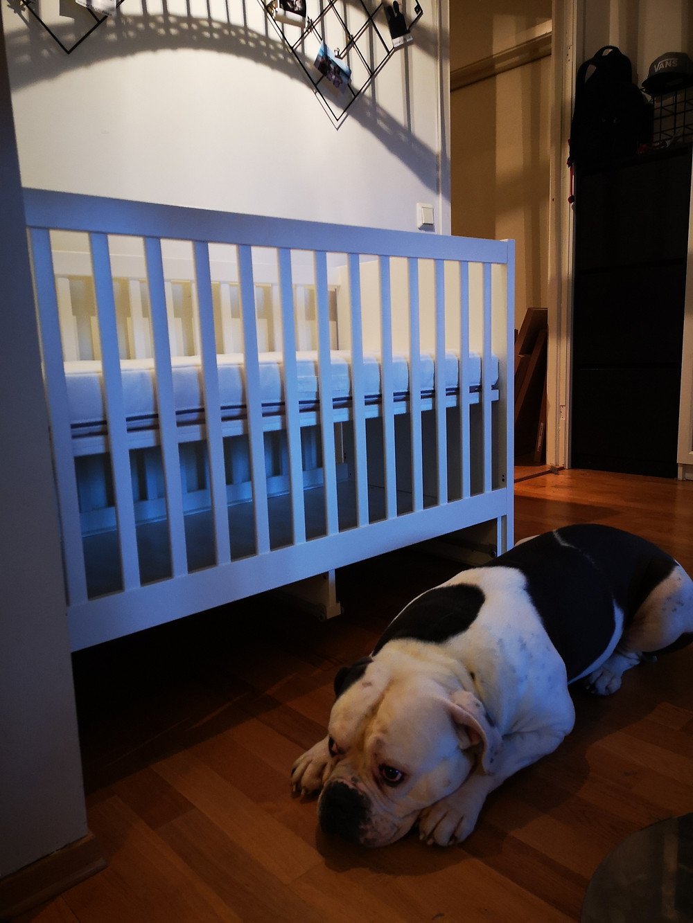 Blaze helping in the process of building the Stuva crib from Ikea