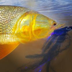 Golden Dorado eaten Pole Dancer fly