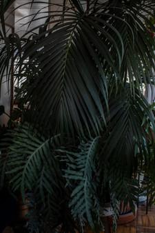Palma Kentia