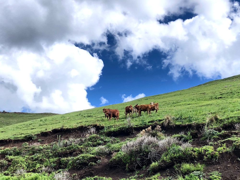 Cows, Mountain, Hill, Rhodes, Naude's nek, Cloudy, Off-road, travel, adventure, South Africa