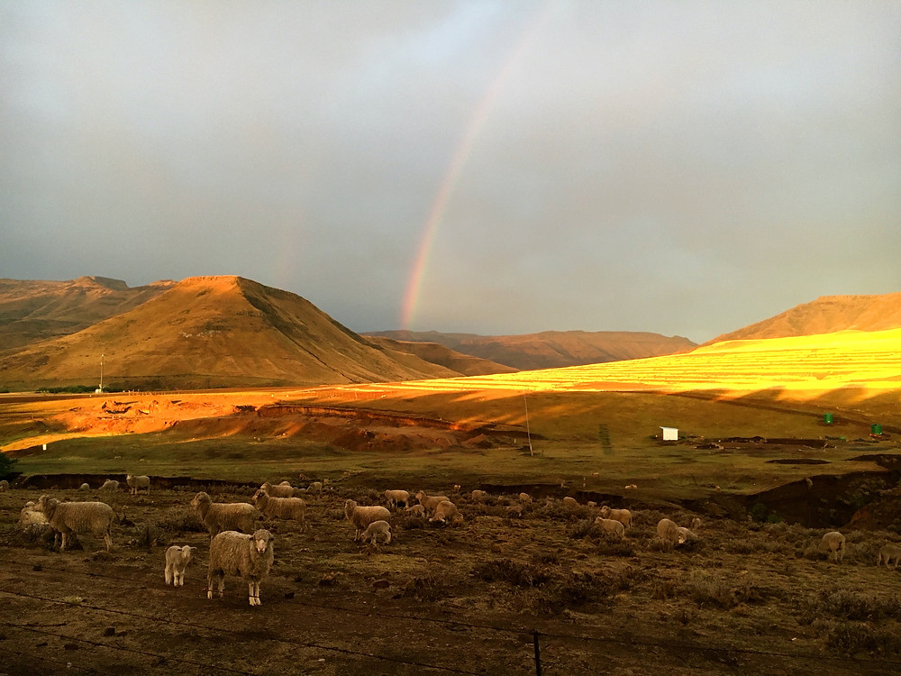Rainbow, sheep, mountain, fields of gold, travel, Rhodes, Eastern Cape
