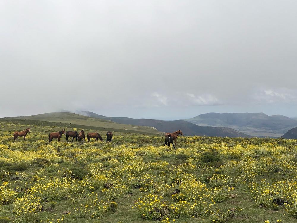Winterberg, Wild Horses, Devils Bellows, Mustang, Yellow flowers, open plains