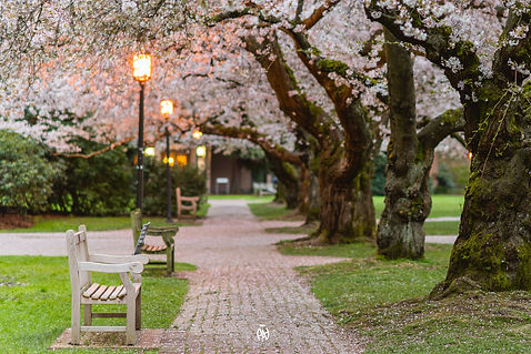 A walkway on the UW campus, with benches on one side and cherry blossom trees on the other