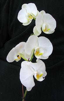 Botanical - Phalaenopsis