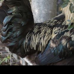 a fleeting moment _ Elmwood #texture #feathers #labradorite #darkbeauty #chickens #naturalbeauty #na