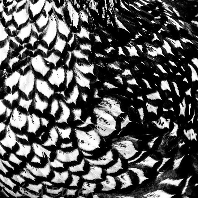 Elmwood #wyandottechicken #chicken #feathers #black&white #contrast #abstractart #abstractphotograp