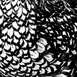 Elmwood #wyandottechicken #chicken #feathers #black&white #contrast #abstractart #abstractphotograp