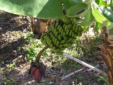 Canarian bananas