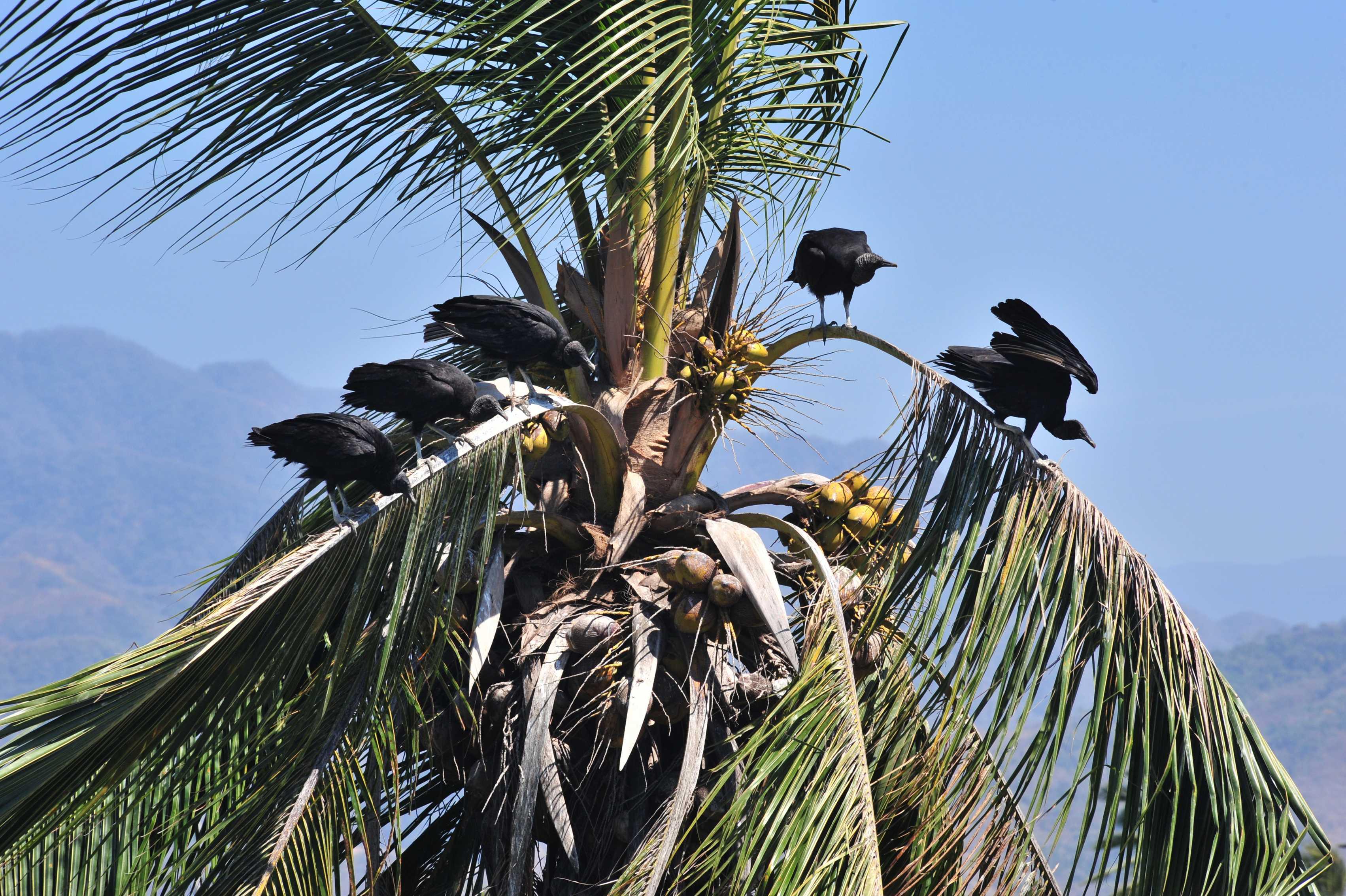 Vultures in Estero el Salado, Puerto Vallarta