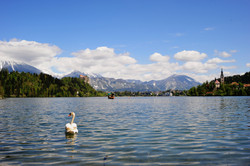 Swan in Lake Bled