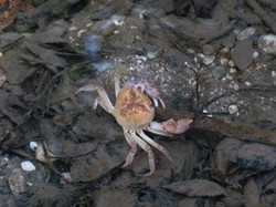 Crab at Butterfly Valley